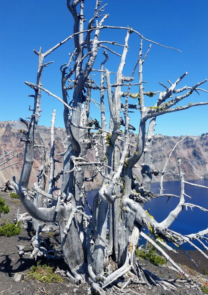 Wizard Island rim tree.jpg
