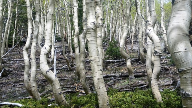 quaking-aspens